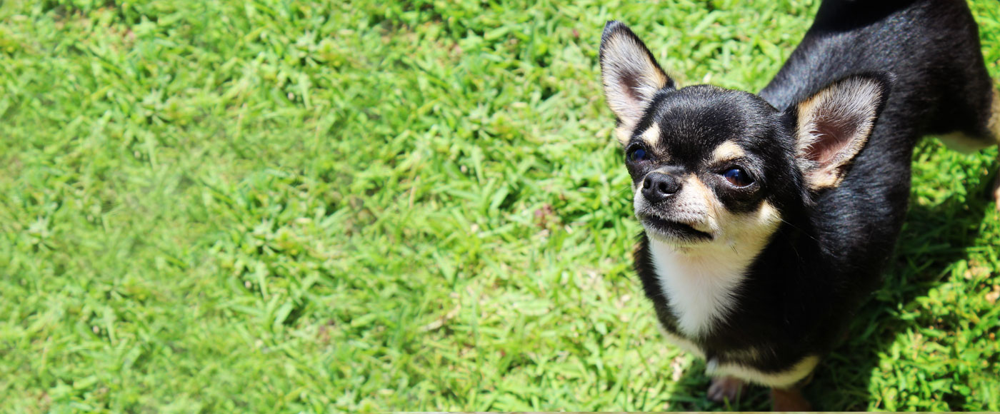 The Chihuahua Club of America - The official AKC parent club